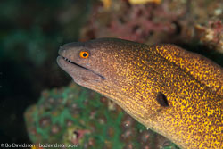 BD-110313-Puerto-Galera-3297-Gymnothorax-flavimarginatus-(Rüppell.-1830)-[Yellow-edged-moray].jpg